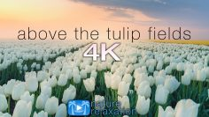 ABOVE THE TULIP FIELDS (4K) Holland Spring 2 HR Aerial Drone Film + Calming Music – Quarantine 2020