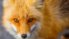 Fox Tales – Secret Life of Red Foxes | Documentary 2017
