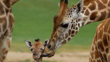 Giraffes – Wild Africa | Giraffe Behaviour and Lifestyle Habitat<div class='yasr-stars-title yasr-rater-stars-visitor-votes'                                           id='yasr-visitor-votes-readonly-rater-f9fd00279bd67'                                           data-rating='0'                                           data-rater-starsize='16'                                           data-rater-postid='7142'                                            data-rater-readonly='true'                                           data-readonly-attribute='true'                                           data-cpt='posts'                                       ></div><span class='yasr-stars-title-average'>0 (0)</span>