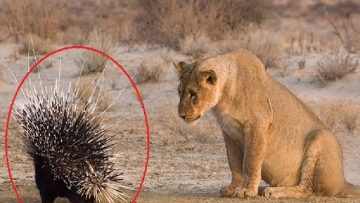 Wildlife Animal Fails | Predators Fails – Wildlife Animals Moments of Failure<div class='yasr-stars-title yasr-rater-stars-visitor-votes'                                           id='yasr-visitor-votes-readonly-rater-d5779e60720db'                                           data-rating='0'                                           data-rater-starsize='16'                                           data-rater-postid='7143'                                            data-rater-readonly='true'                                           data-readonly-attribute='true'                                           data-cpt='posts'                                       ></div><span class='yasr-stars-title-average'>0 (0)</span>